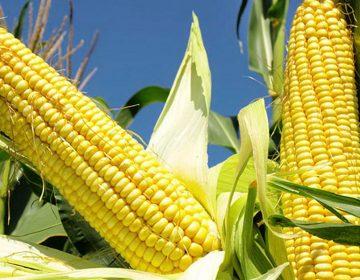 Advierten que maíz subirá 30% por sequía; podría impactar en precio de tortilla