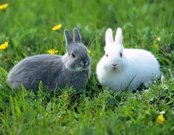 Conejos huelen las heces de otros animales para saber si son sus depredadores