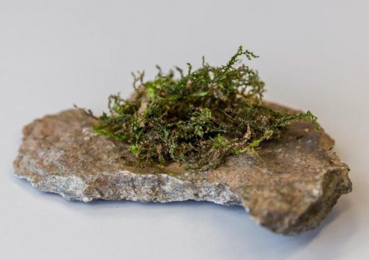 Esta planta parecida al musgo produce el efecto psicoactivo del cannabis