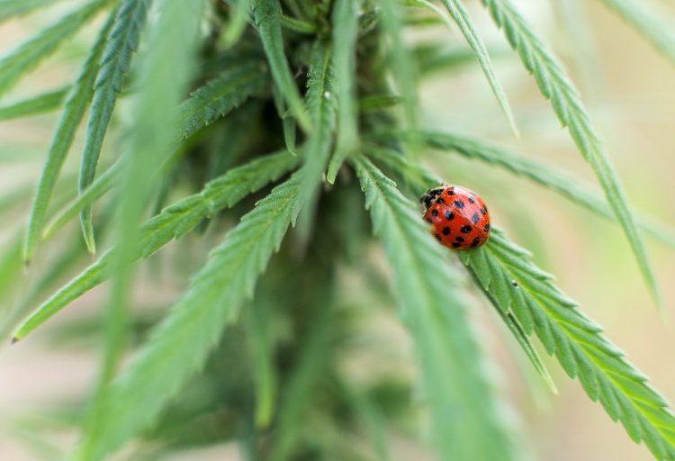 ¿Cuál será la siguiente nación en legalizar la marihuana? Varios países asiáticos aceleran su aprobación