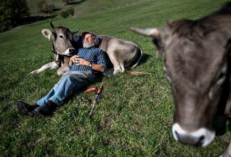 ¿El país de las consultas? Suiza prepara una para decidir el futuro de los cuernos de las vacas