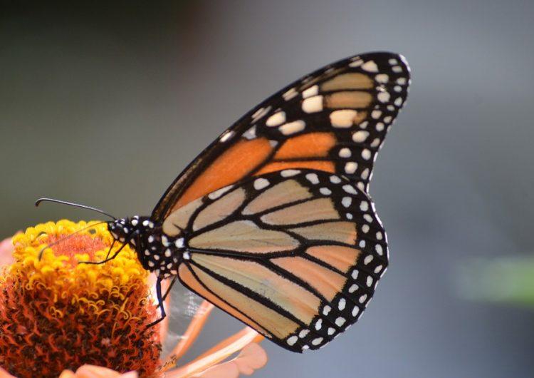 Tú puedes registrar el paso de las mariposas Monarca por México