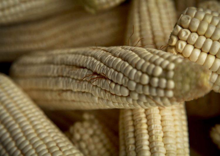 Así piratean maíz oaxaqueño desde EE. UU.