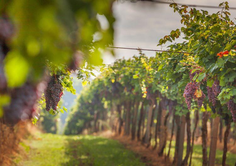 ¿Es posible producir vino en Puebla?