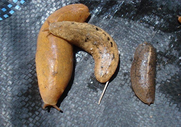 """Qué es el mortal """"gusano pulmonar"""" que contamina caracoles, camarones y algunos vegetales"""