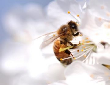 ¿Una abeja engendrada por dos machos? Científicos lo explican