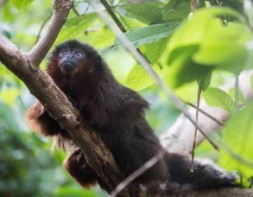 La evolución de un mono a un tipo de perezoso, un misterio que científicos comienzan a revelar gracias al ADN