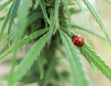 Tailandia legaliza el cultivo de marihuana para uso medicinal