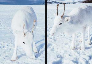 Un reno blanco capta la atención de Noruega