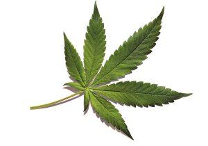 Marihuana, bondades y riesgos