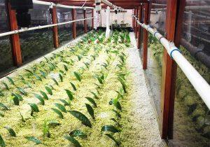 ¡México tiene un proyecto para cultivar té!