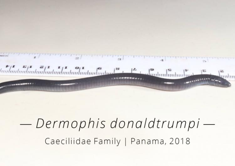 Un anfibio ciego y que cava túneles recién descubierto es nombrado como Donald Trump