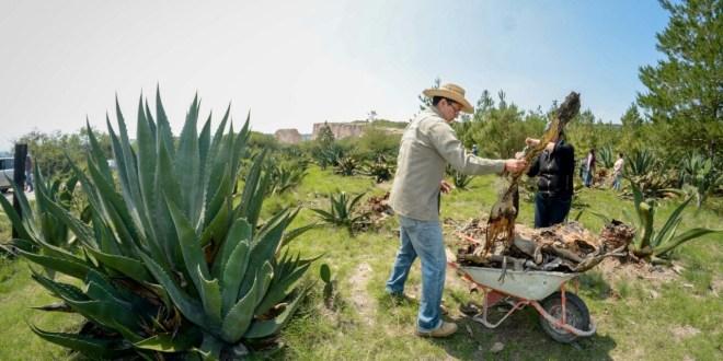 Para evitar extinción, piden plantar maguey en parcelas de cebada en Hidalgo