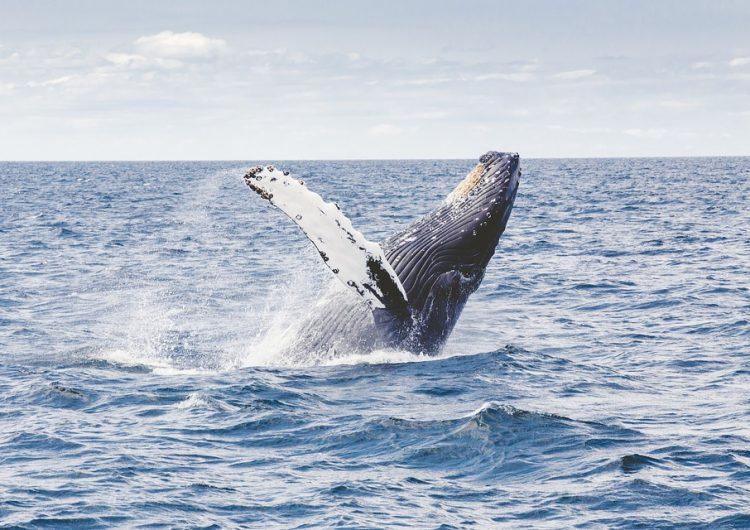 Luego de 30 años, Japón vuelve a legalizar la caza de ballenas