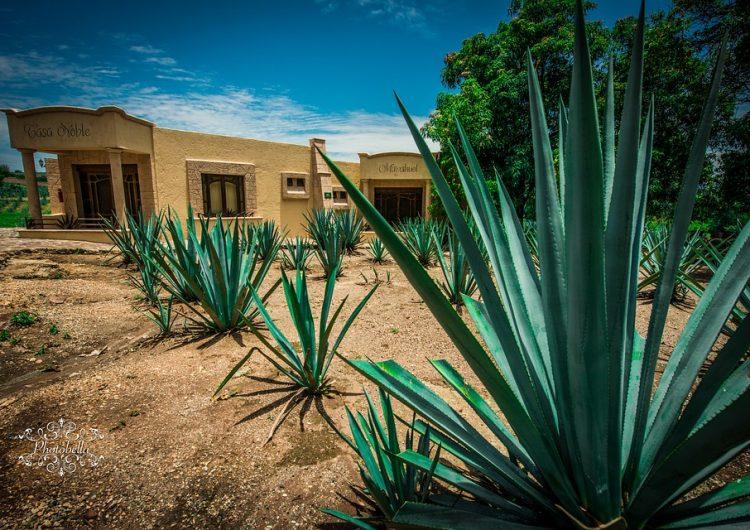 Defenderán denominación de origen mezcaleros de Aguascalientes