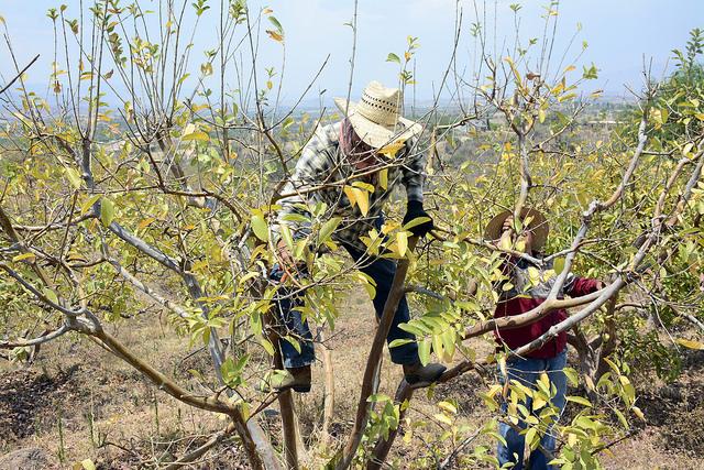 Paraliza desabasto mano de obra agrícola en Calvillo: CNC