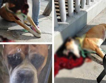Matan a perro tras explotarle pirotecnia en la boca