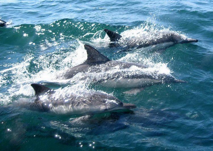 Todos los delfines, ballenas y focas analizadas en un estudio estaban contaminados con microplásticos
