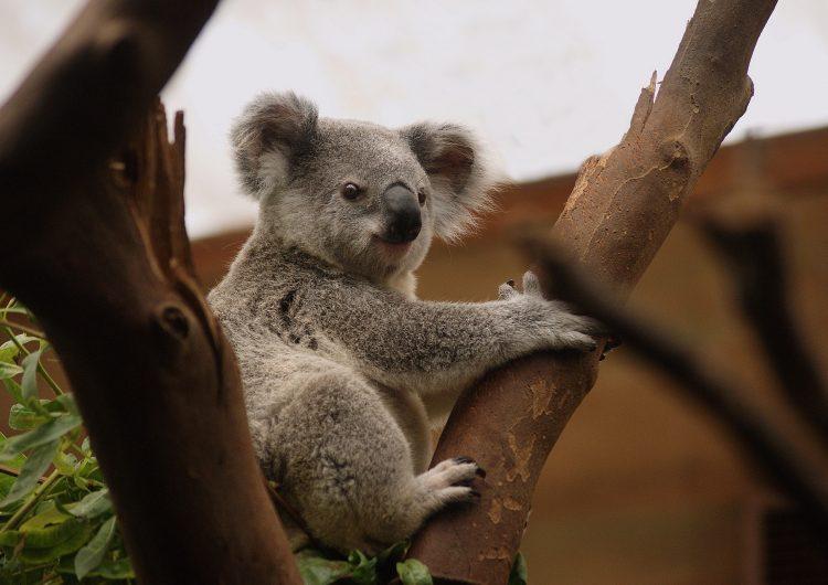 Una mujer da agua a un koala en Australia por las altas temperaturas