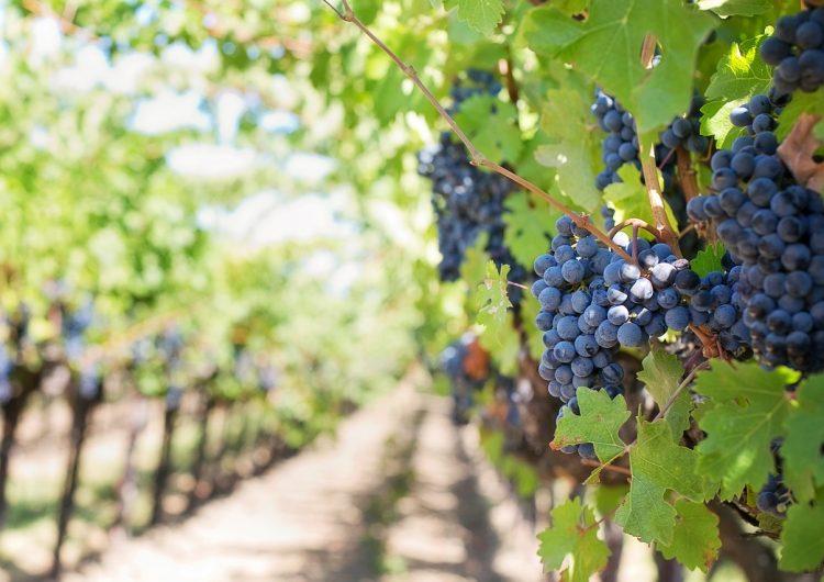De Croacia a México… 5 insospechadas regiones que producen el mejor vino del mundo