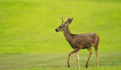 """La enfermedad del """"ciervo zombie"""": ¿Es real y puede contagiar…"""