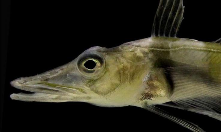 """Investigan extraño pez con """"anticongelante"""" en la sangre que puede sobrevivir temperaturas de 0 grados centígrados"""