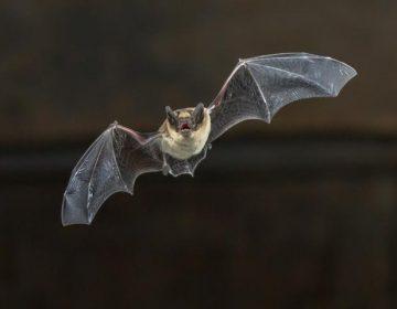 Estudio muestra que los murciélagos pueden transmitir influenza a los humanos