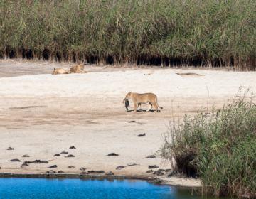 La escasez de alimento en África hace que los leones cacen y coman animales marinos