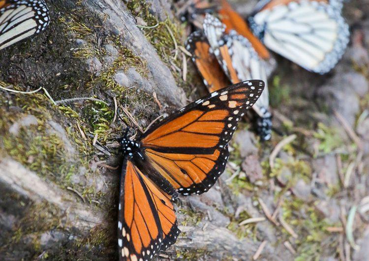 La pobreza que mata a la mariposa monarca
