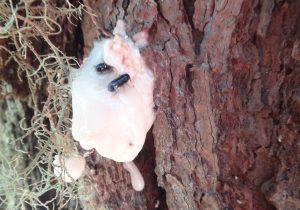 Cambio climático incentiva plaga de escarabajo descortezador en la Sierra Norte de Oaxaca: CIIDIR