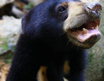 Los osos malayos imitan las expresiones de su manada, conducta que solo se había descubierto en humanos y gorilas
