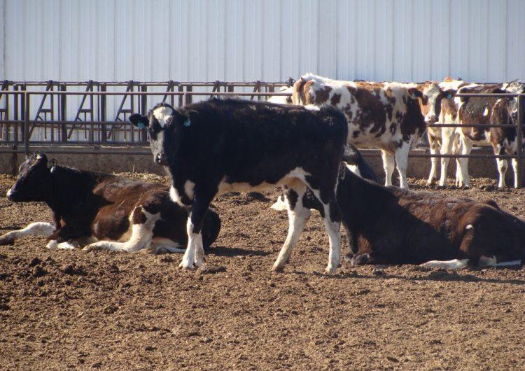 La industria lechera de Coahuila migrará a estados del sur: AMLO
