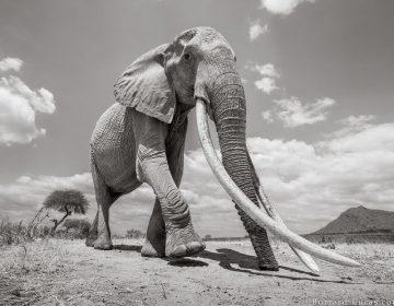 """La grandeza de la """"reina elefante"""" de África en 8 fotografías"""