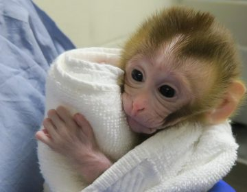 Científicos dan vida a un macaco a partir de tejido testicular criopreservado
