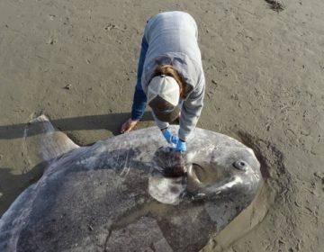 Extraño pez luna aparece por primera vez en una playa de California