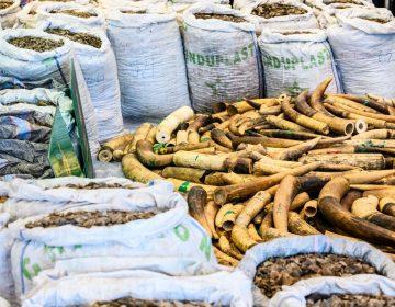 Unos 36 mil pangolines fueron sacrificados para producir un cargamento de escamas, afirman conservacionistas