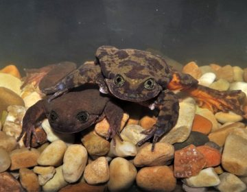 Científicos luchan porque las ranas Romeo y Julieta se reproduzcan y ayuden a preservar su especie