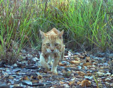 Los esfuerzos de Australia para cumplir su objetivo de matar 2 millones de gatos