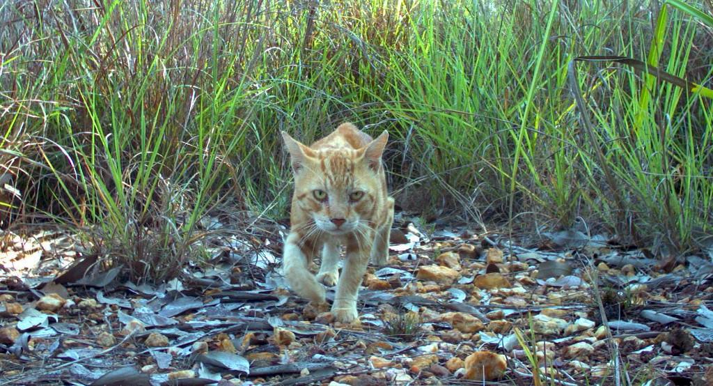 Con salchichas envenadas planean exterminar gatos salvajes en Australia