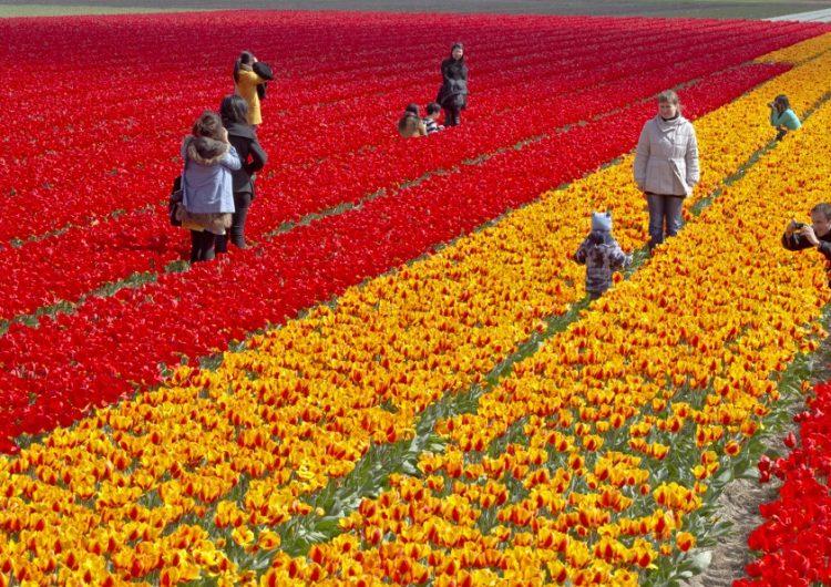 Holandeses protegen sus tulipanes ante turistas que buscan la selfie perfecta