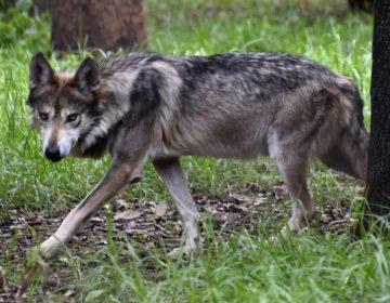 Video: Así es el lobo mexicano que nació en un zoológico de Colorado