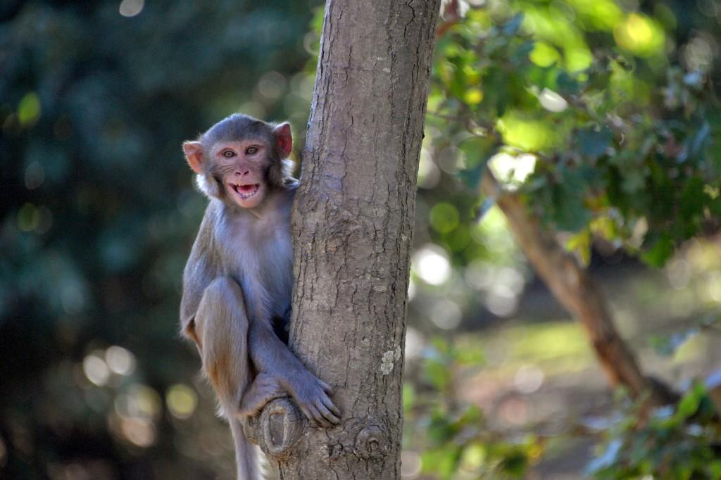 Implantan genes humanos en el cerebro de monos para estudiar su desarrollo
