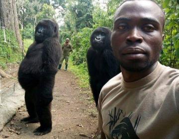 """Dos gorilas rescatadas """"posan"""" para una foto con sus protectores en Congo"""