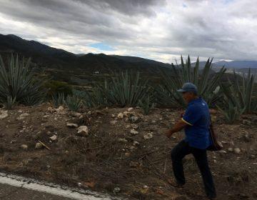 En riesgo agaves silvestres por industrialización de mezcal artesanal