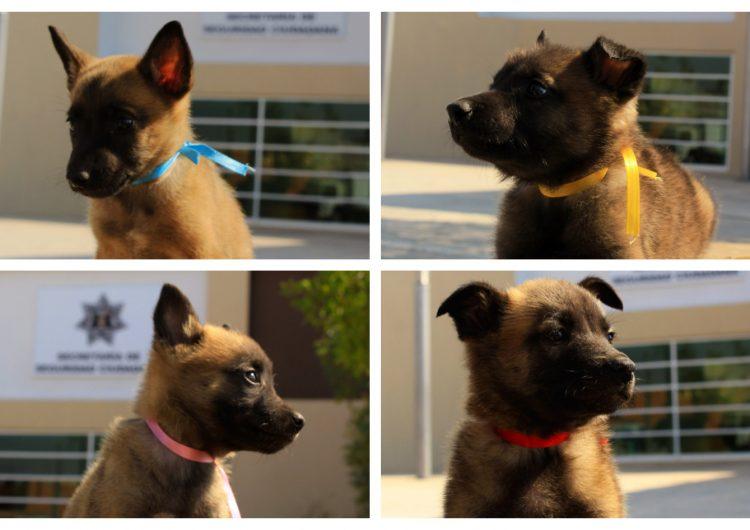 Lanzan concurso para ponerle nombre a los perritos policía, ¡participa!