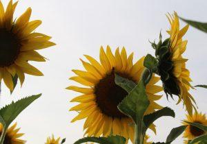 Girasoles: las flores que renuevan la tierra y restablecen la población de abejas