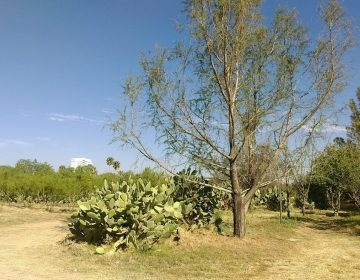 Detecta ONG sólo 36 árboles vivos antes ubicados en San Ignacio