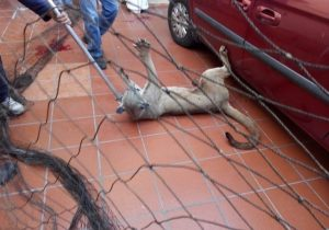 Protección Civil asegura a puma en la capital potosina