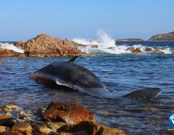 Encuentran 22 kilos de plástico en el estómago de una ballena embarazada