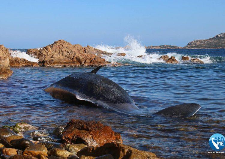 ballena cachalote muerta italia